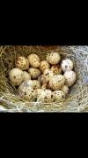 Яйцо перепелиное (домашнее)