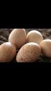 Яйцо индюшек (домашнее)